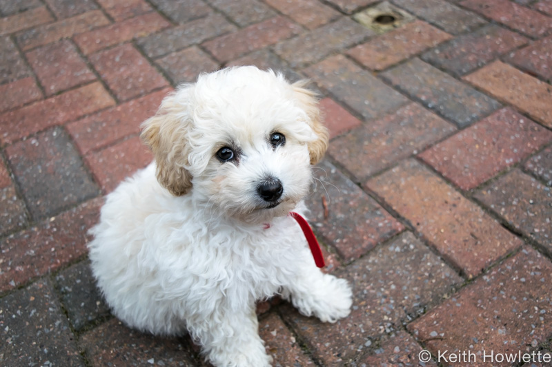 Bailey the Poochon